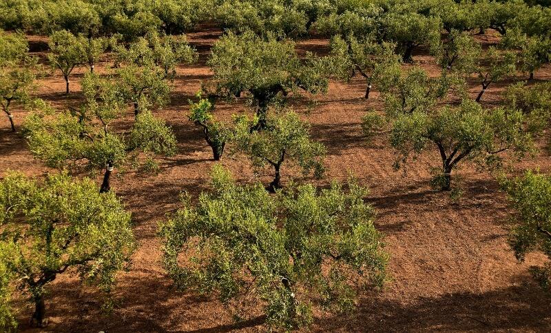 suelo olivos aceite ecologico