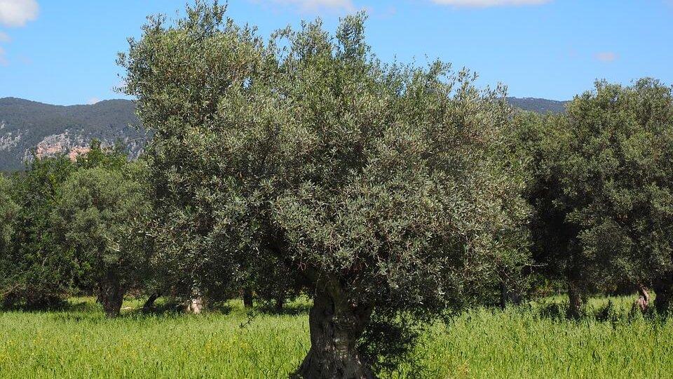 dia mundial olivo