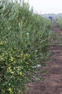 olivar de cultivo extensivo